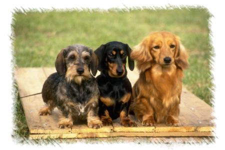 Mini Dachshund Puppies on Clark Law And Order Dachshund Information Pictures Of Dachshunds